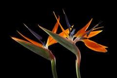 Цветки райской птицы Стоковое Изображение RF