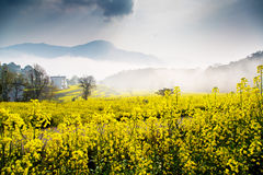 цветки рапса весны Стоковое Изображение