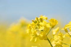 Цветки рапса в весне сезона Желтое поле стоковая фотография