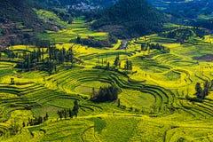 Цветки рапса в Юньнань, Китае стоковое изображение rf