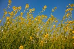 Цветки рапса на юге  фарфора Стоковая Фотография RF