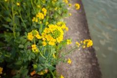 Цветки рапса на юге  фарфора Стоковые Фото