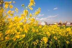 Цветки рапса на юге  фарфора Стоковое Изображение