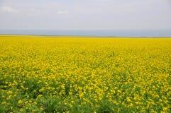 Цветки рапса озера Кита Цинхай Стоковое Изображение