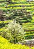цветки рапса фарфора Стоковое Изображение