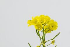 Цветки рапса Стоковая Фотография
