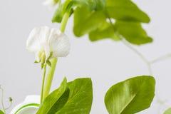 Цветки рапса Стоковое Изображение
