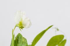 Цветки рапса Стоковые Изображения RF