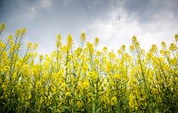 цветки рапса Стоковые Фото