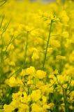 Цветки рапса Стоковое Изображение RF