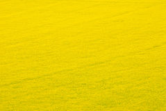 Цветки рапса Стоковое Фото