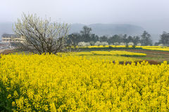 Цветки рапса Стоковая Фотография RF