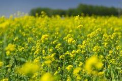 Цветки рапса Стоковое фото RF