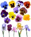 Цветки радужек лиловые он изолирован Стоковая Фотография