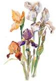 Цветки радужки акварели Стоковые Фотографии RF