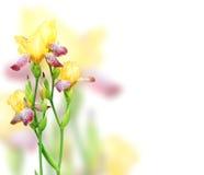 Цветки радужки желтых и фиолетовых цветов Стоковое Фото