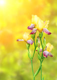 Цветки радужки желтых и фиолетовых цветов Стоковое фото RF