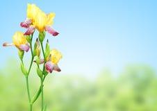 Цветки радужки желтых и фиолетовых цветов Стоковые Изображения RF