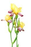 Цветки радужки желтых и фиолетовых цветов Стоковое Изображение RF
