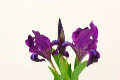 Цветки радужки Стоковое фото RF