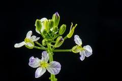 Цветки редиски Стоковые Изображения