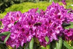 Цветки рододендрона в саде стоковое изображение rf