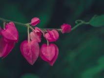 Цветки розового сердца форменные Стоковое Изображение