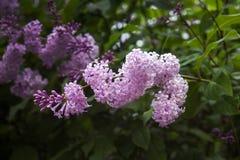 Цветки розовой сирени на ветви, растя спирально, конц-поднимают стоковые изображения rf