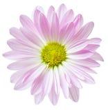 Цветки розовых маргариток цветка маргаритки флористические Стоковое Изображение RF