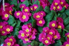 Цветки розовых первоцветов Стоковое Изображение