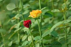 Цветки Розы красного цвета и апельсина Стоковые Фото