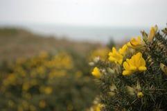 Цветки дрока Стоковые Изображения RF