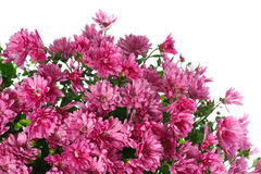 цветки росы хризантемы изолировали белизну Стоковые Фотографии RF