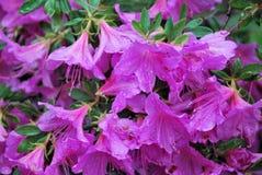 Цветки рододендрона в парке Монтрё Стоковые Изображения RF