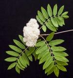 Цветки рябины & x28; зола горы, aucuparia& x29 рябины; на черном backgr Стоковое фото RF