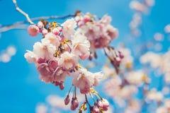 Цветки Сакуры весны Стоковое Изображение RF