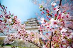 Цветки Сакуры вишневых цветов стоковая фотография