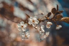 Цветки Сакуры вишни весны белые, тонизируя Стоковое фото RF