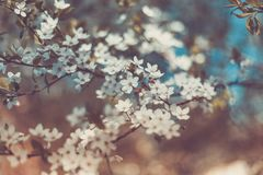 Цветки Сакуры вишни весны белые, тонизируя Стоковые Изображения