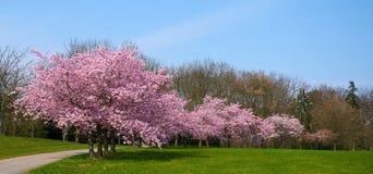 Цветки Сакуры в цветении стоковая фотография