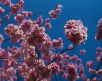 Цветки Сакуры в цветении стоковые изображения