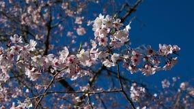 Цветки Сакуры или вишни розовые стоковые фотографии rf