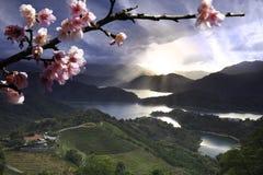 Цветки Сакуры среди сада чая Стоковое Изображение RF