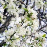 Цветки Сакуры цветут, вишня, цветения яблока, солнечный день, голубое небо Предпосылка естественной весны Стоковое Изображение RF