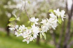 Цветки Сакуры цветут, вишня, цветения яблока, солнечный день, конец-вверх Предпосылка естественной весны Стоковые Изображения