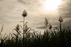 Цветки сахарного тростника Стоковые Фото