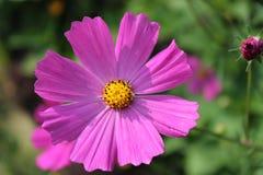 Цветки сада в лете Стоковая Фотография
