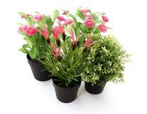 Цветки сада изолированные на белизне Стоковые Фотографии RF