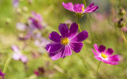 Цветки сада сирени лета Стоковое Изображение RF