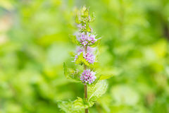 Цветки свежей мяты в саде Стоковое Фото